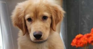 how to train golden retriever puppy