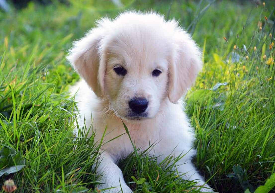 leave it golden retriever puppy