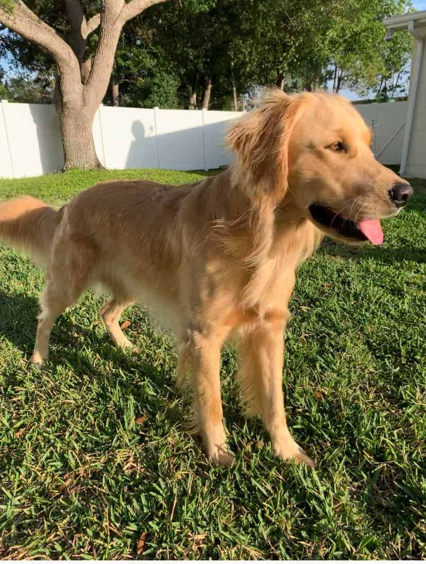 adult short hair golden retriever