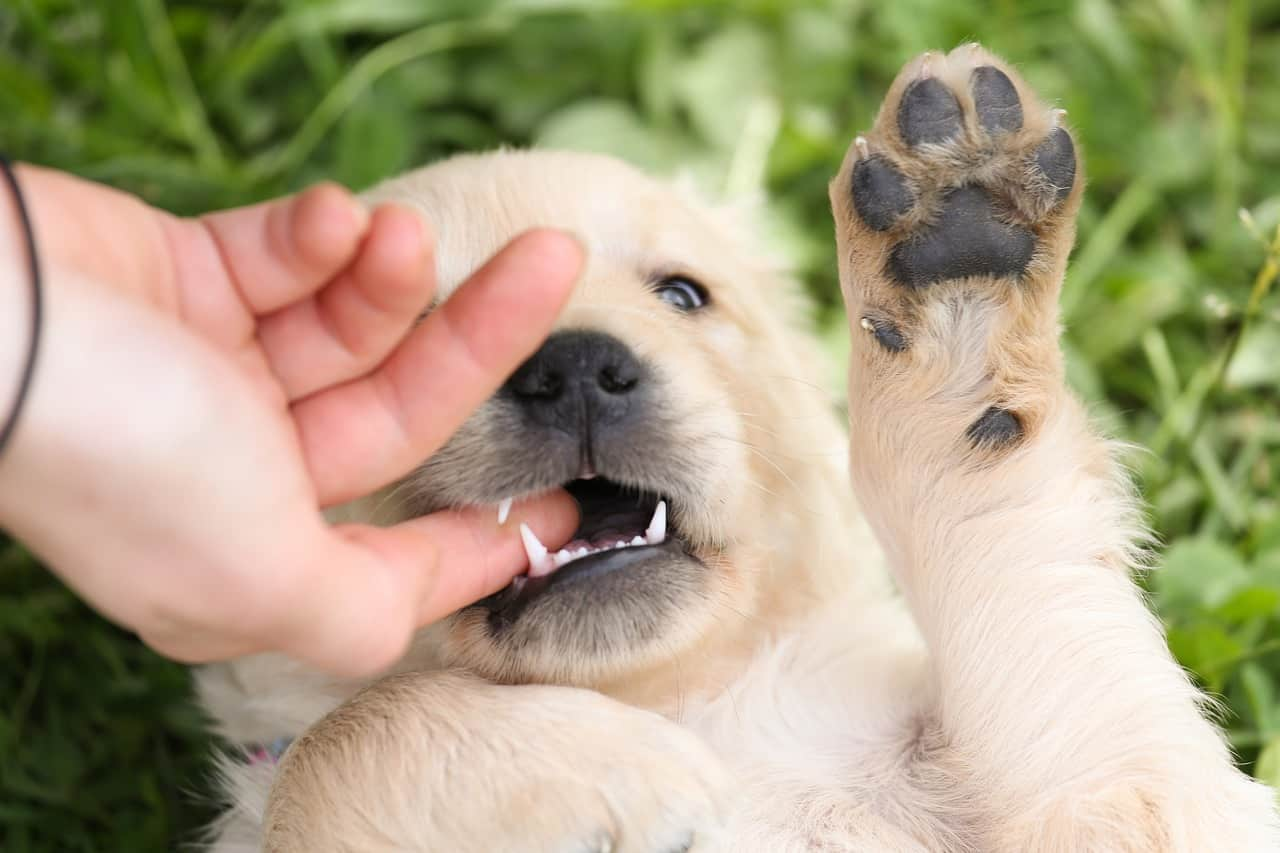 train golden retriever puppy biting