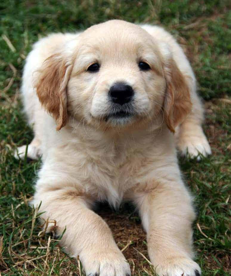 when to traing golden retriever puppy