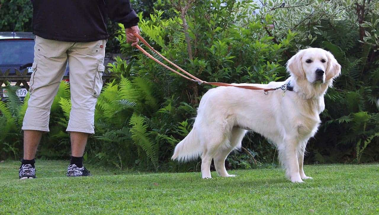 why golden retrievers pull on leash