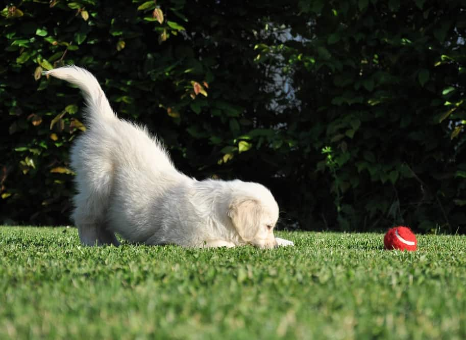 golden retriever puppy exercise