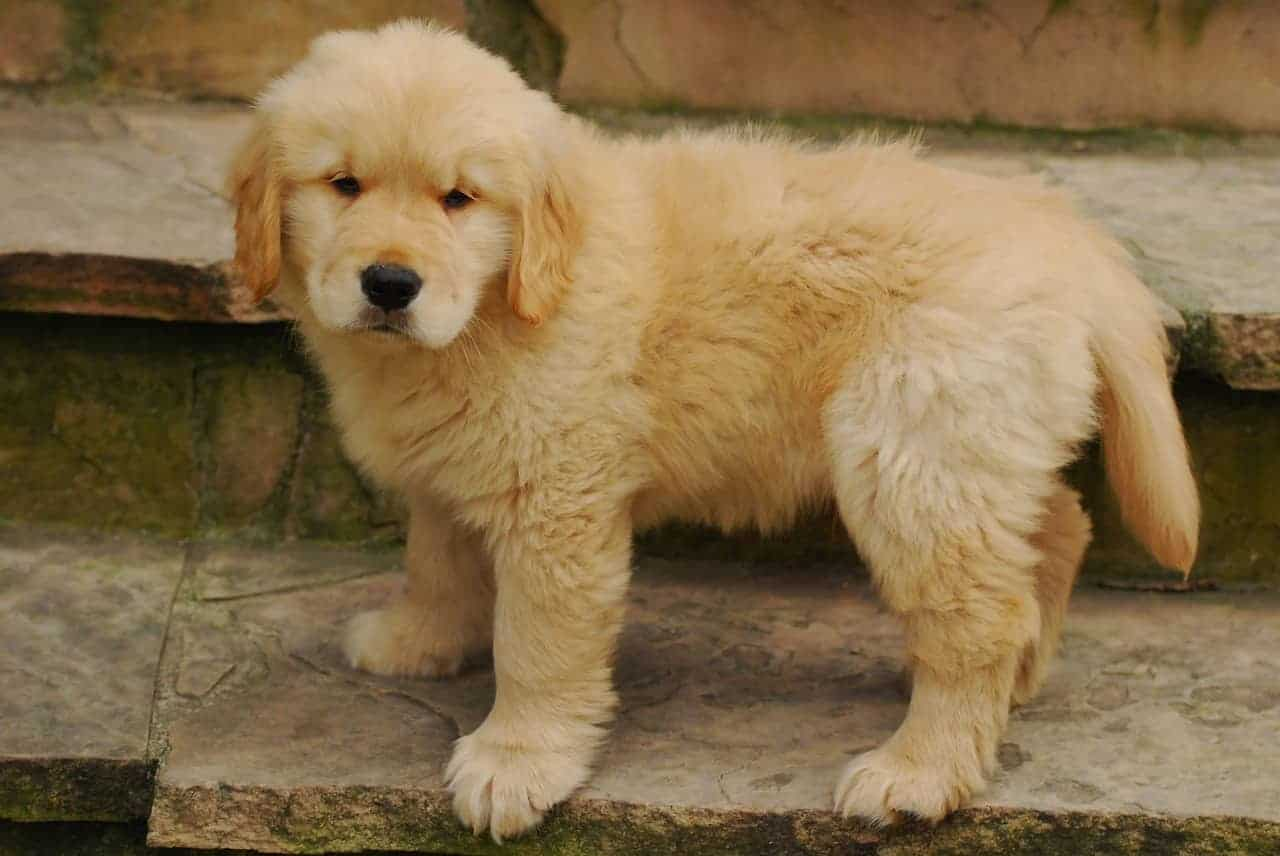 golden retriever puppy behavior problems