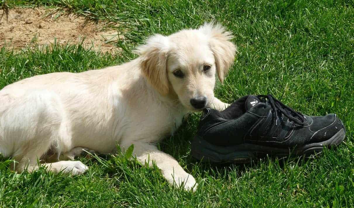 golden retriever puppy chewing shoe