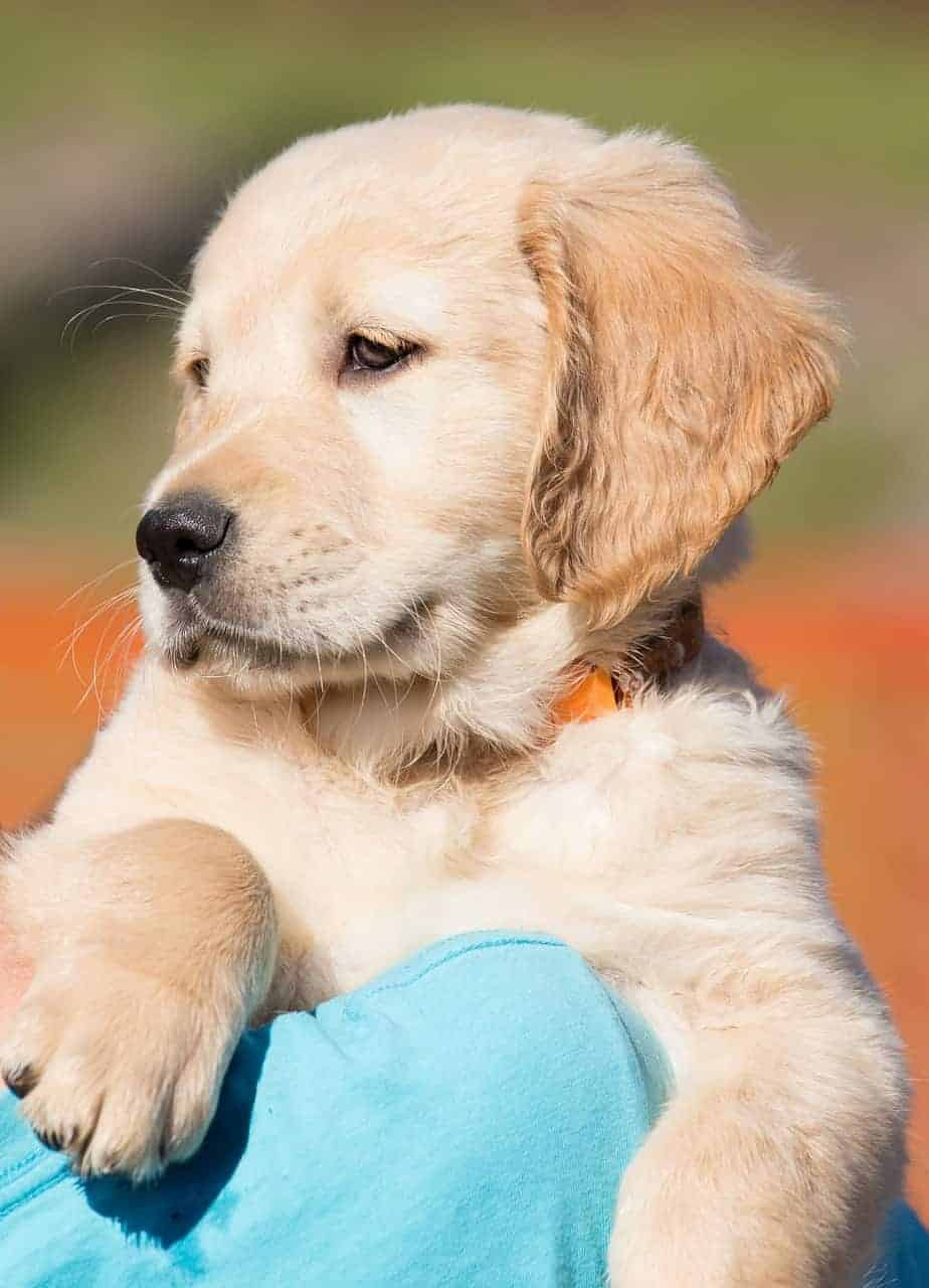 The Complete Guide To Raising A Golden Retriever Puppy Golden Hearts