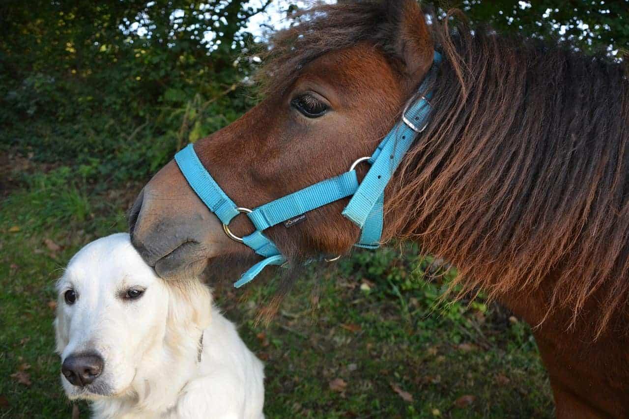golden retriever puppy socialization