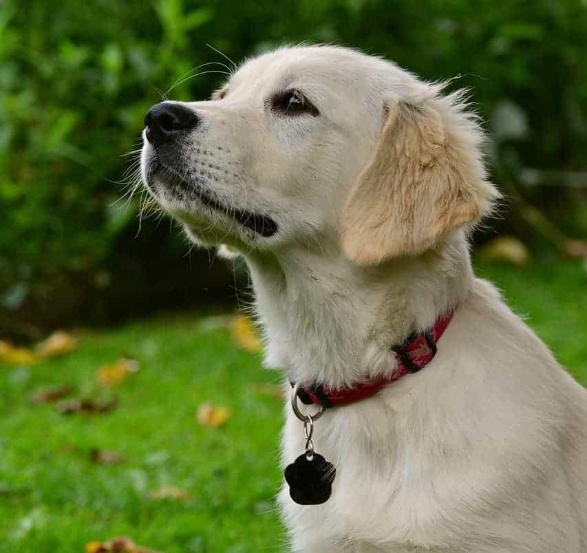 raising golden retriever puppy