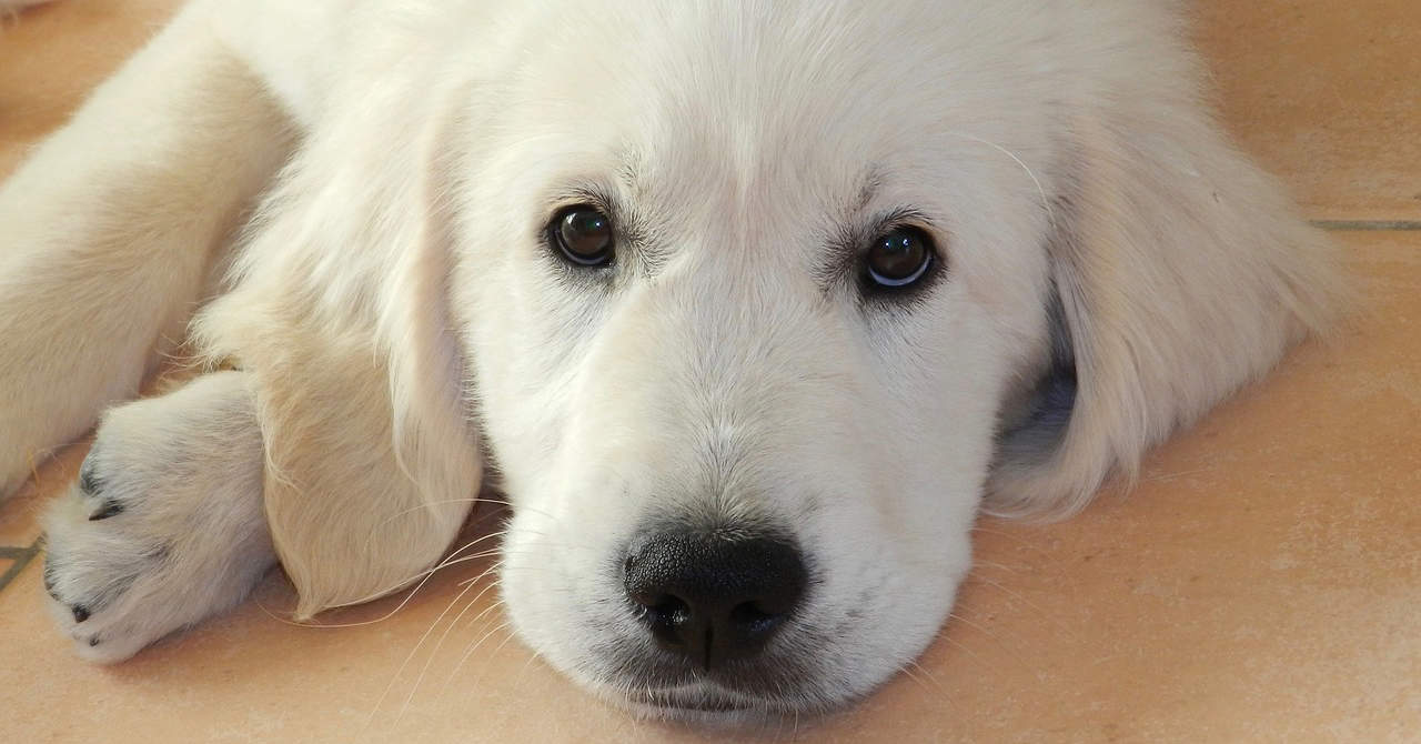 white golden retriever names