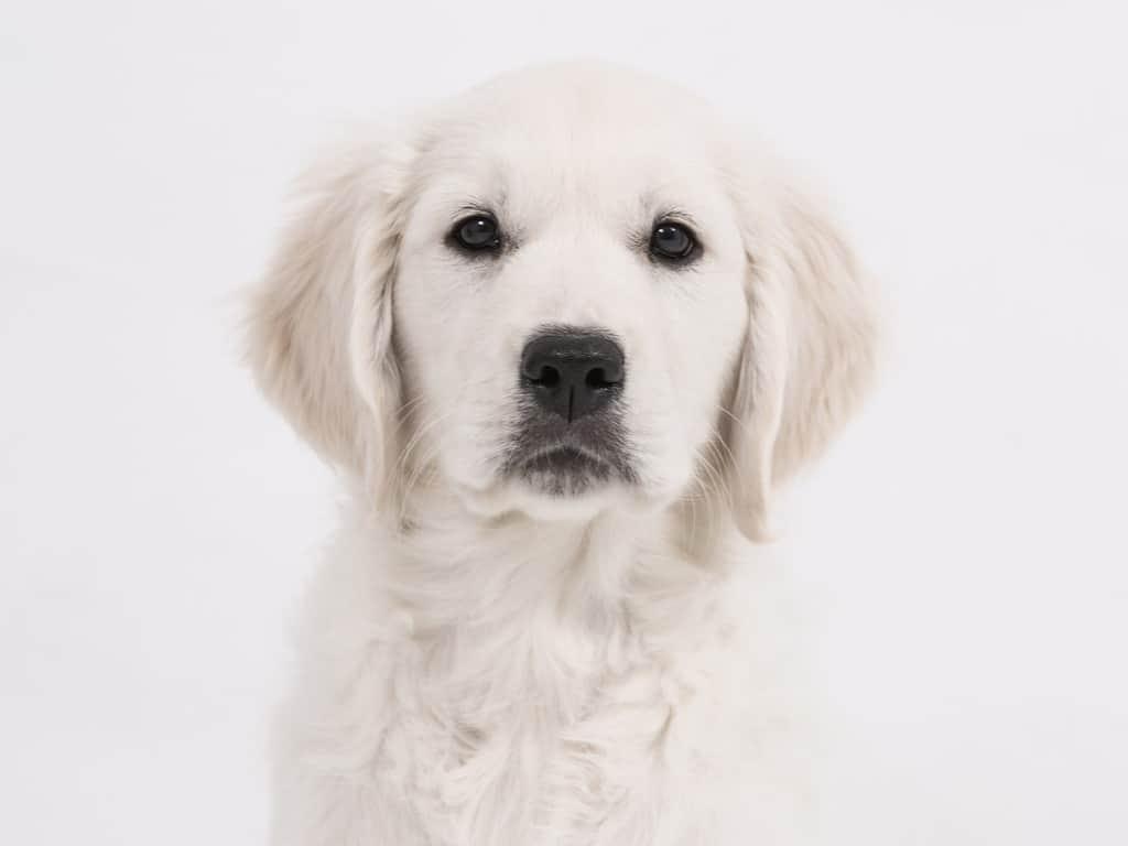 white golden retriever puppy names