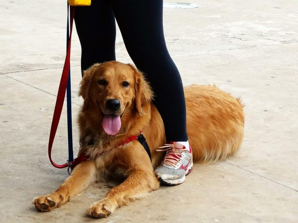 easy training golden retriever