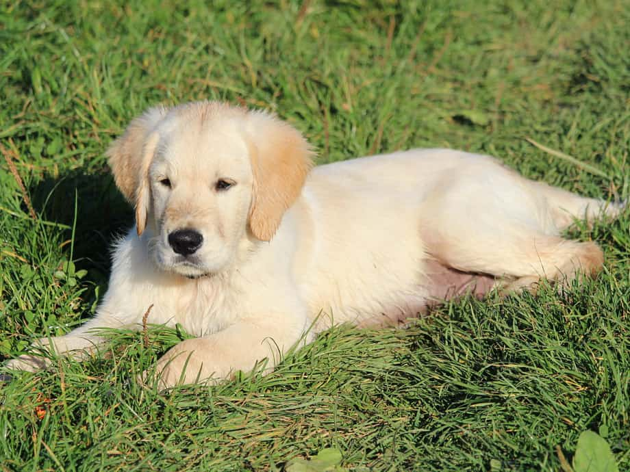 golden retriever puppies easy training
