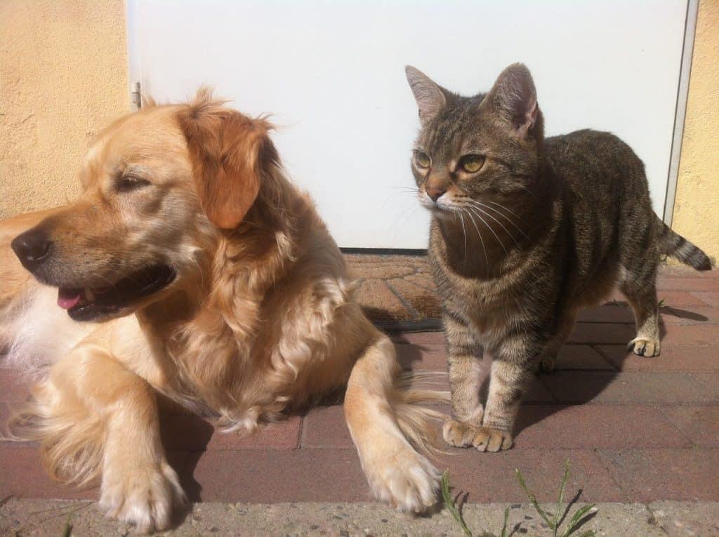 golden retriever and cat get along