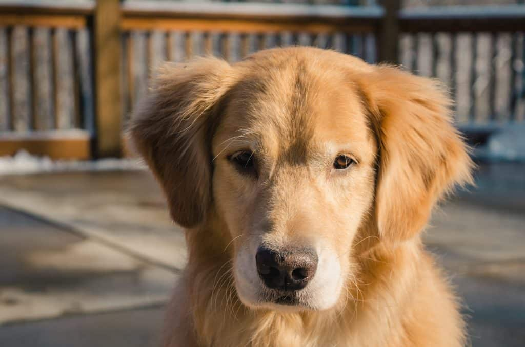 are golden retrievers protective dogs