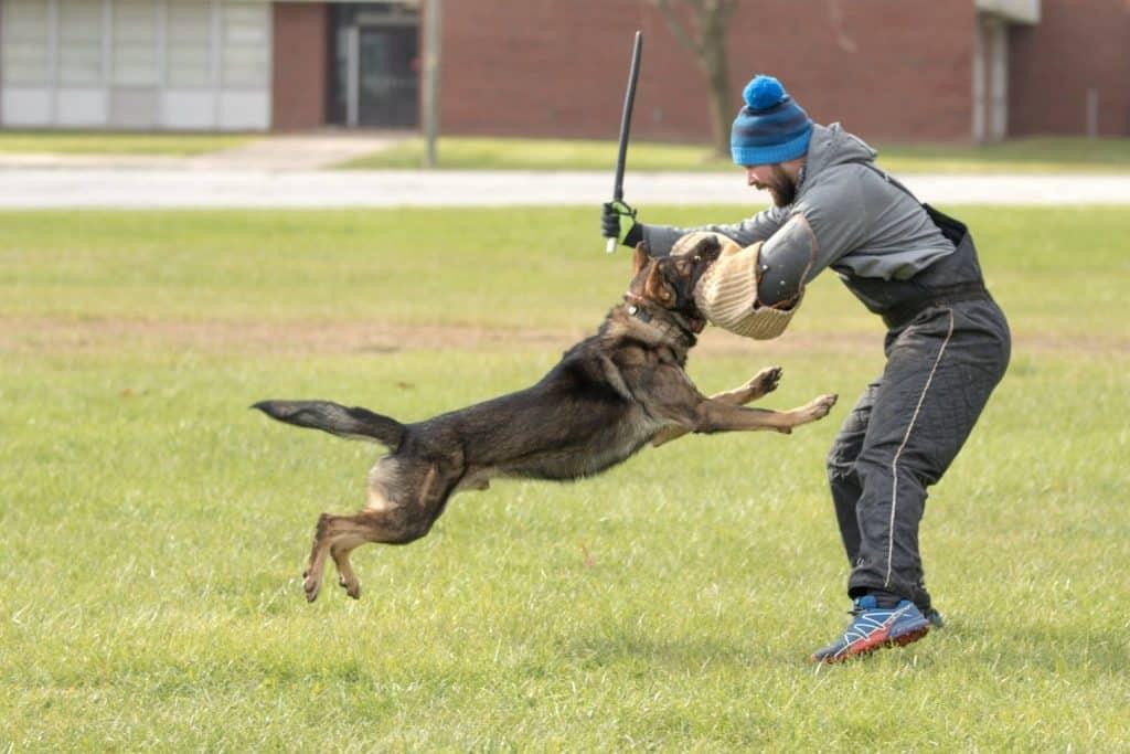 golden retriever schutzhund
