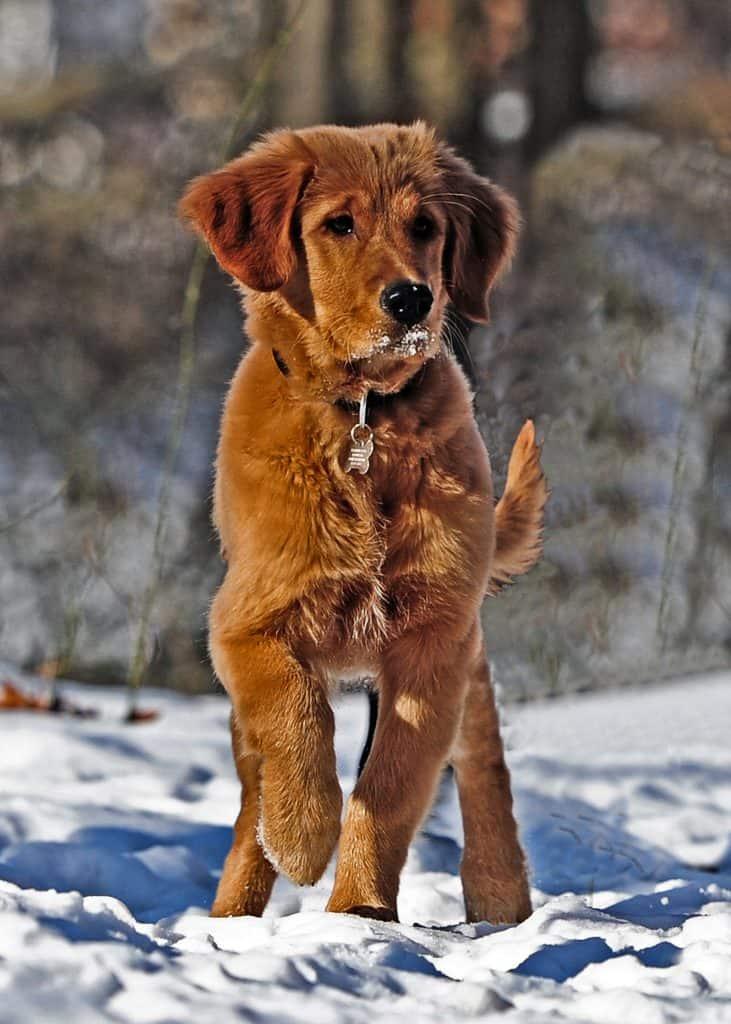 golden retriever hunting