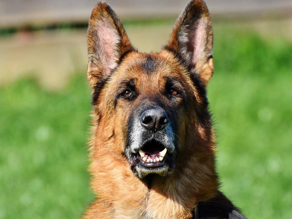german shepherd dog vs golden retriever