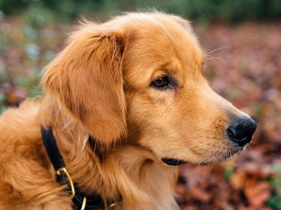 golden retriever vs german shepherd breed