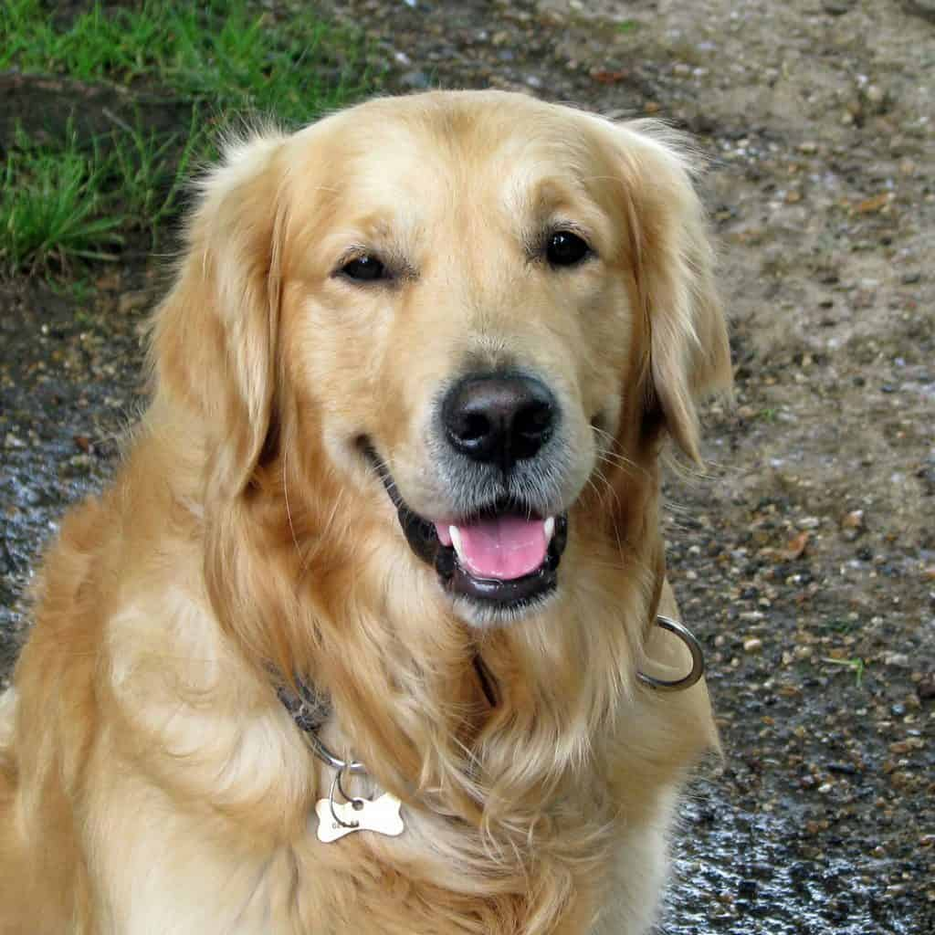 golden retriever rescue ohio