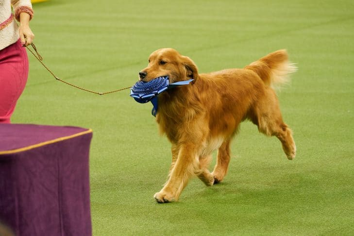 american golden retriever winner daniel