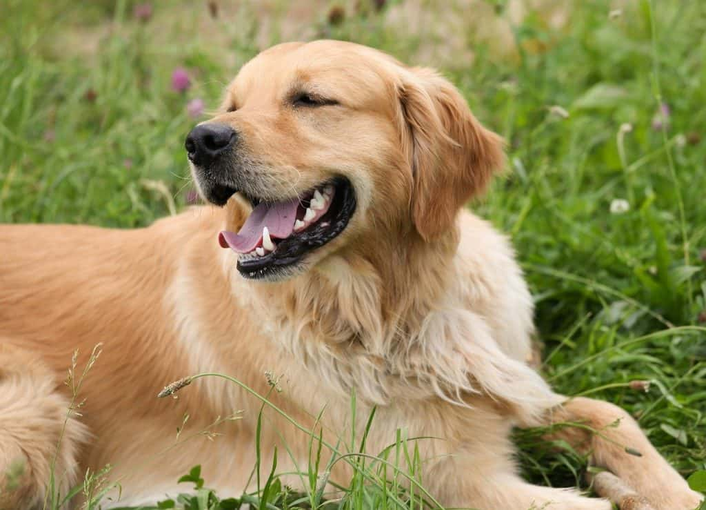 american and english golden retriever differences