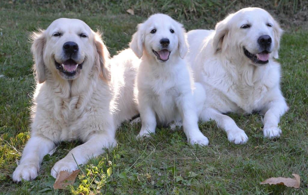 english golden retriever breeder