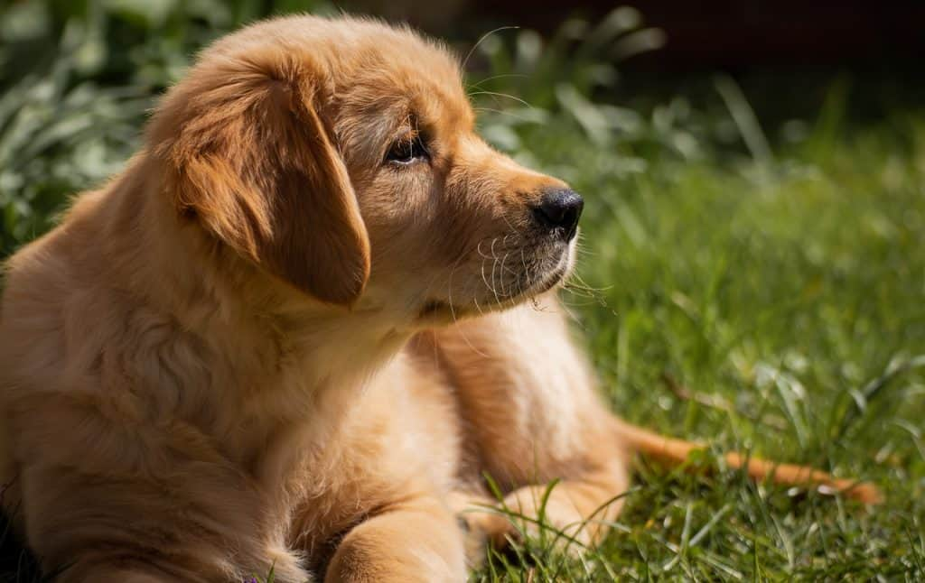 english vs american golden retriever puppy