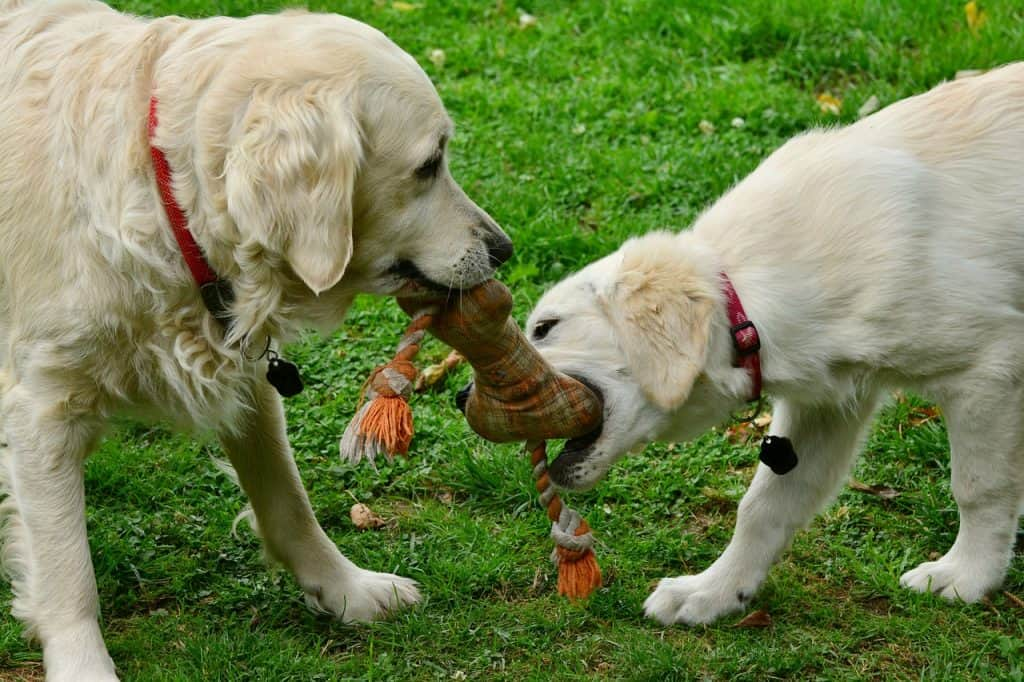 6 month old golden retriever plays with adult golden retriever