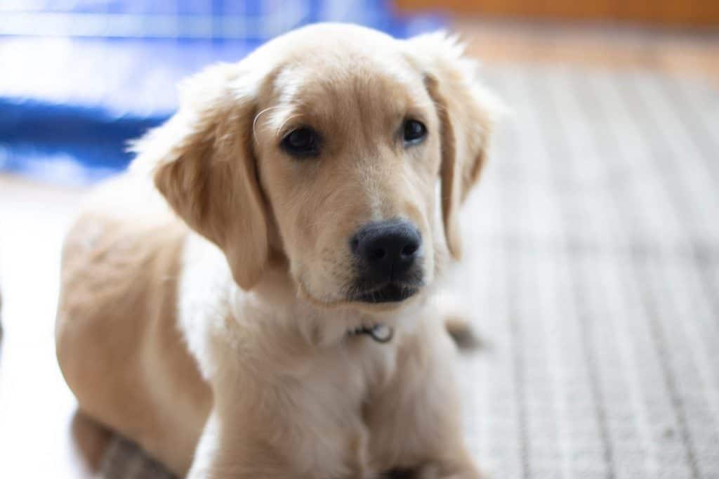 6 month old golden retriever puppy
