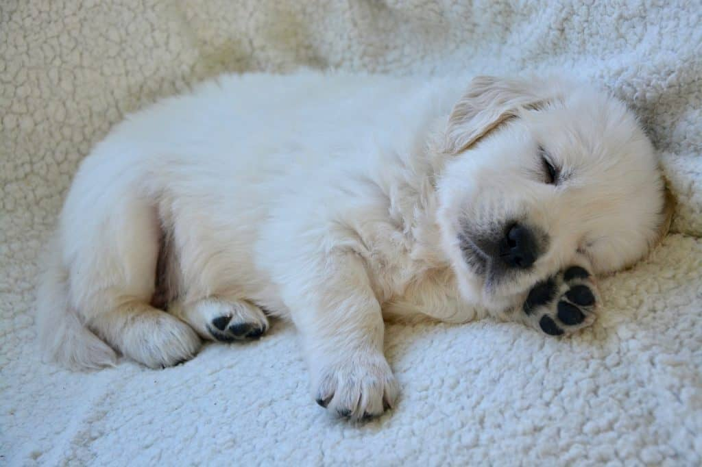 best dog bed for golden retriever puppy