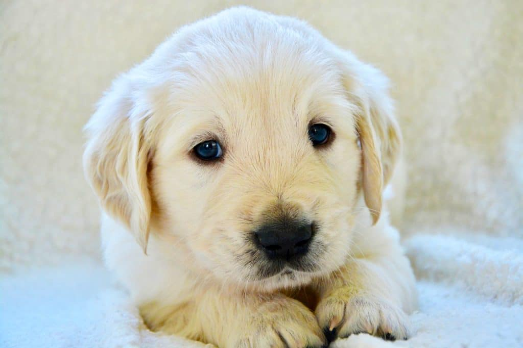 weird golden retriever characteristic:  a blue eyed golden retriever puppy