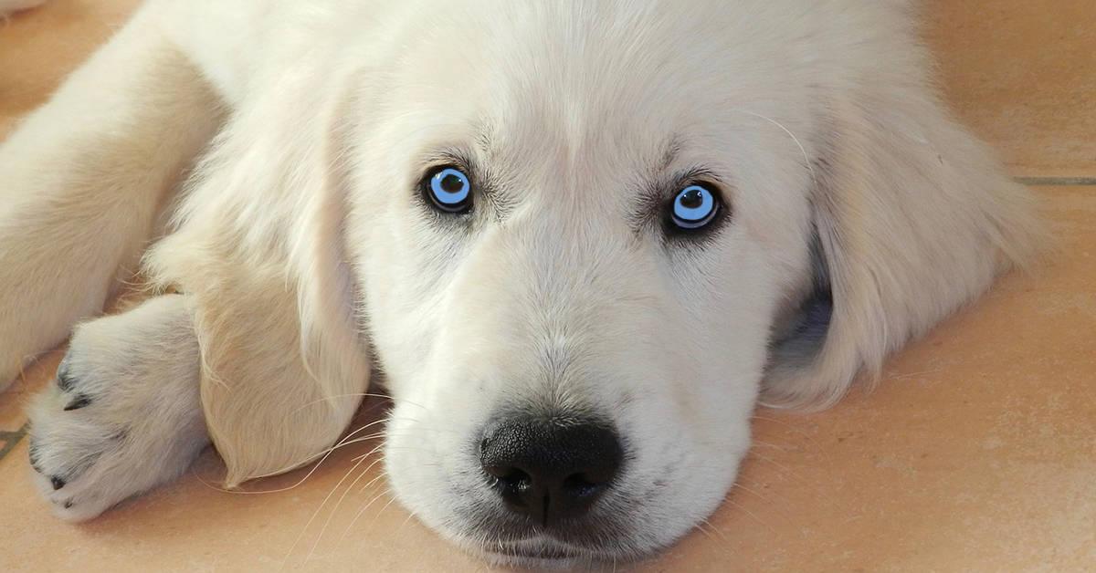 blue eyed golden retriever