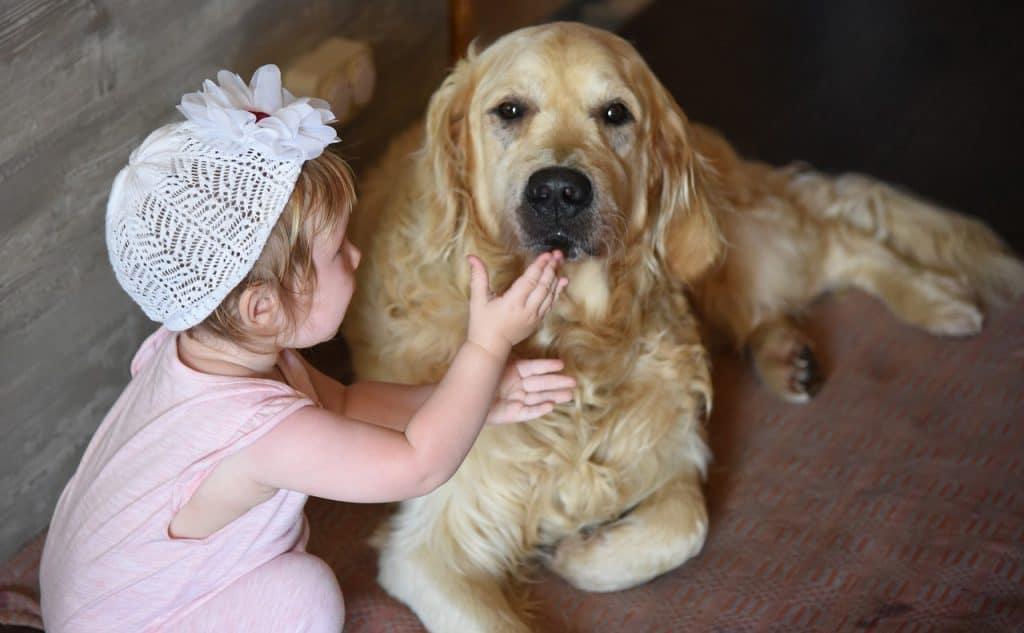 golden retriever good with kids