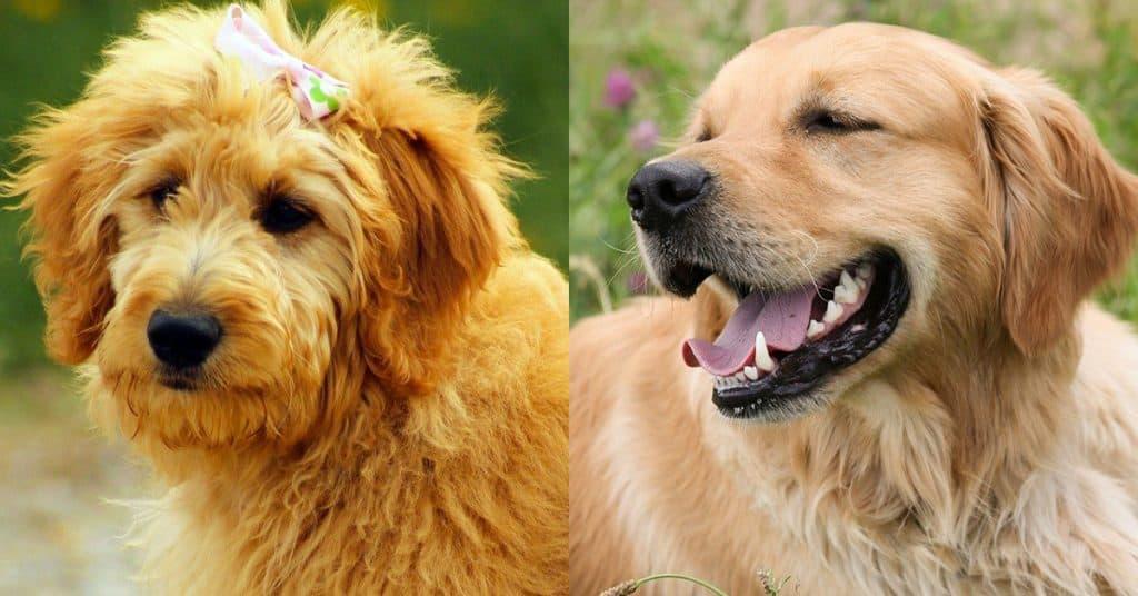 golden doodle vs. golden retriever