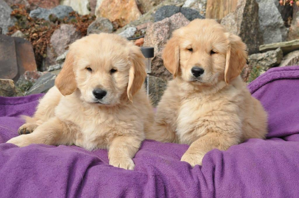 best brushes for golden retriever puppy