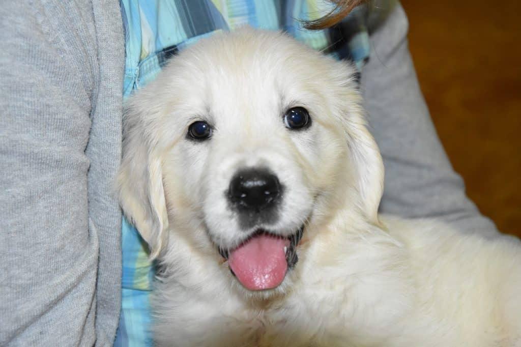 golden retriever puppy hypoallergenic
