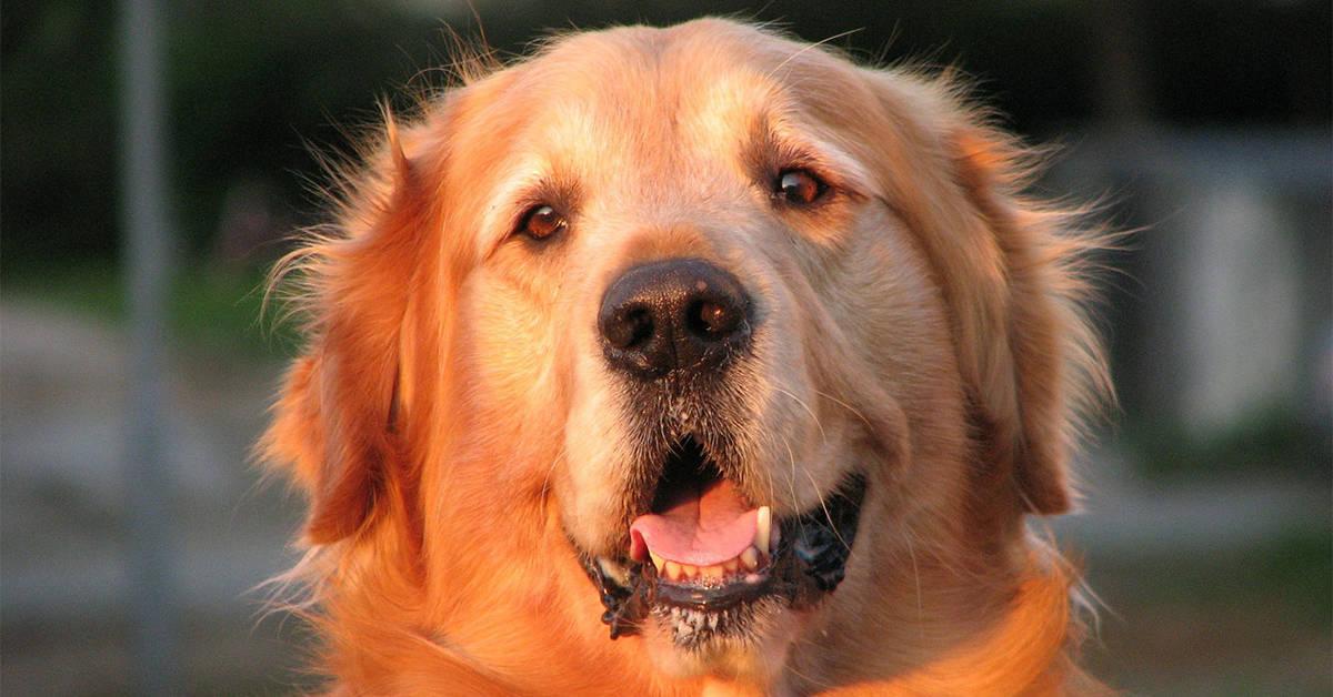 golden retriever rescue in michigan