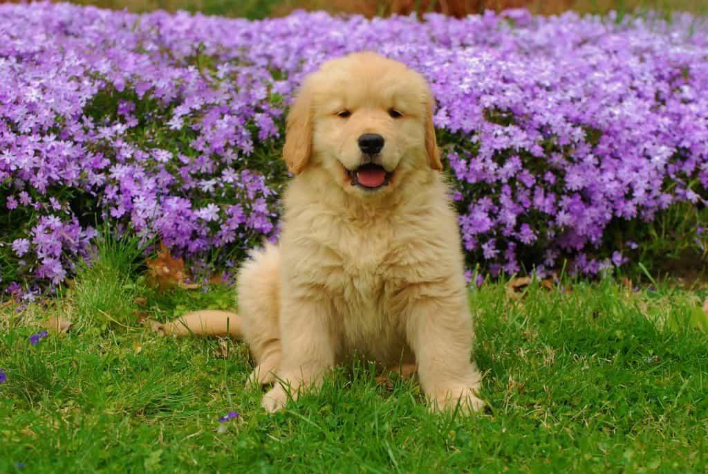 golden retriever puppy rescue oregon