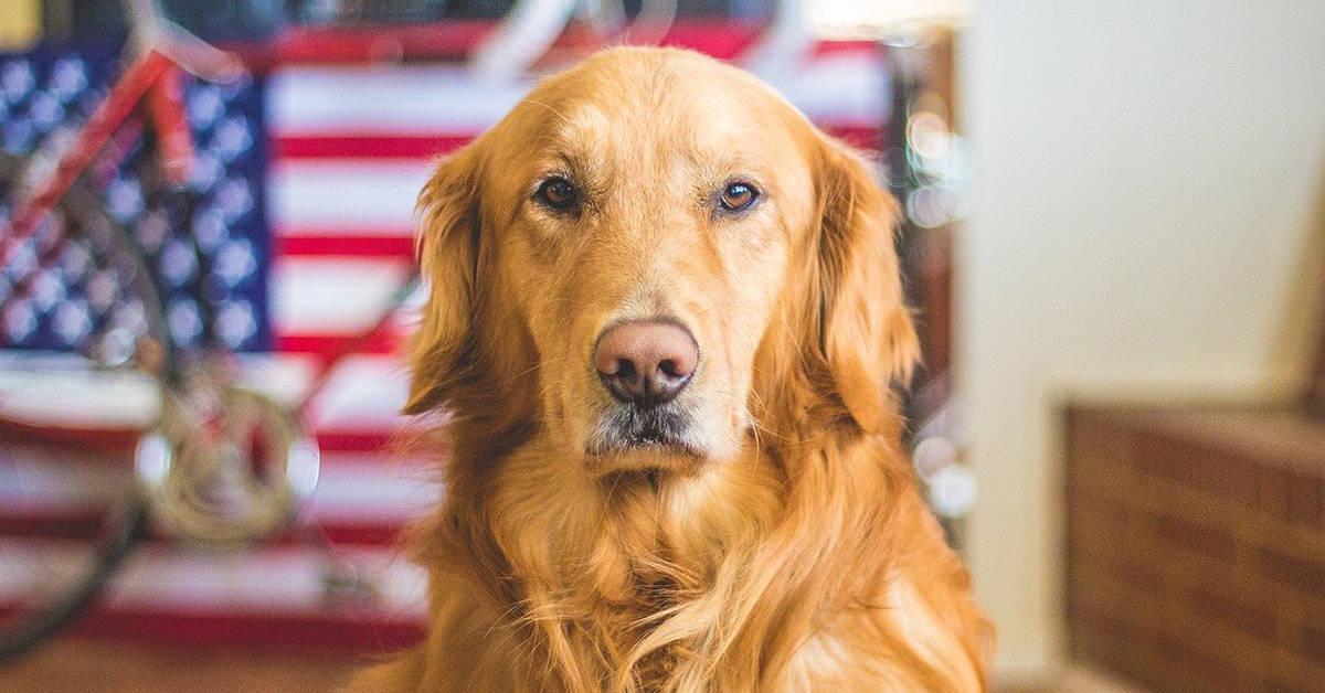 golden retriever rescue texas