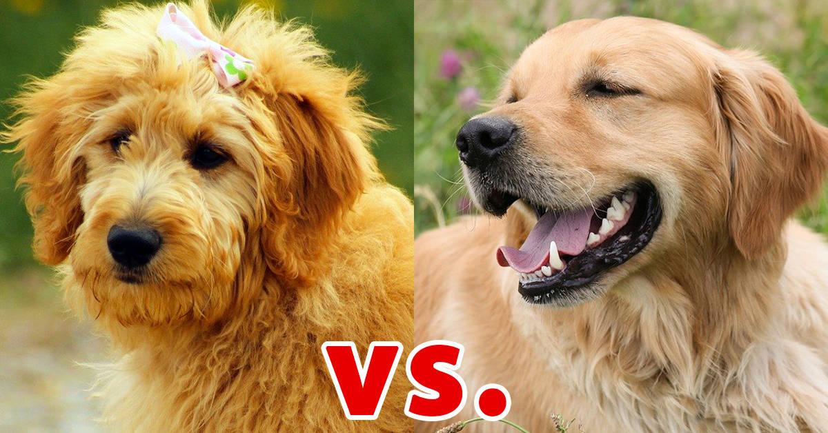 golden retriever vs goldendoodle