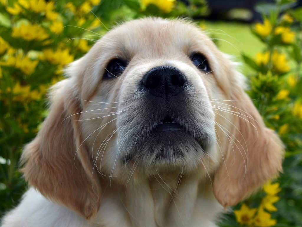 golden retrievers are good dogs because of their personalities