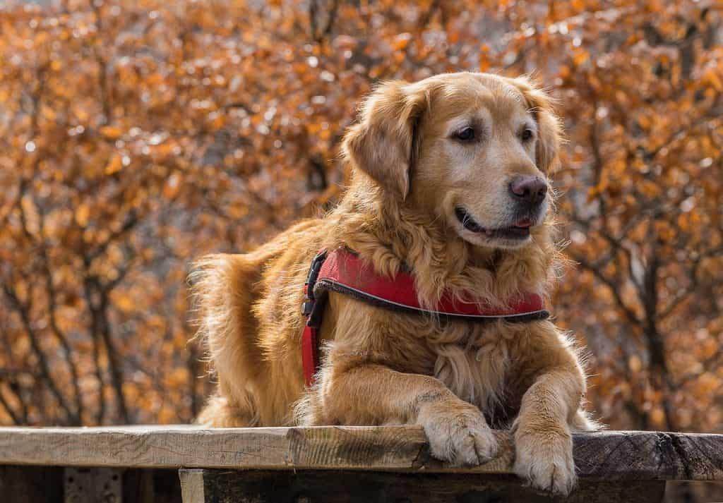 golden retrievers are good service dogs