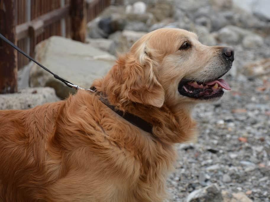 rescue a golden retriever in wisconsin