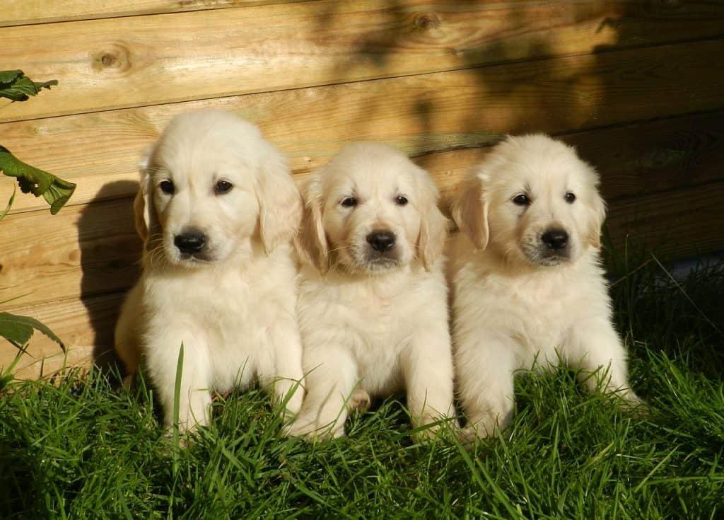 blue eyed golden retriever puppies