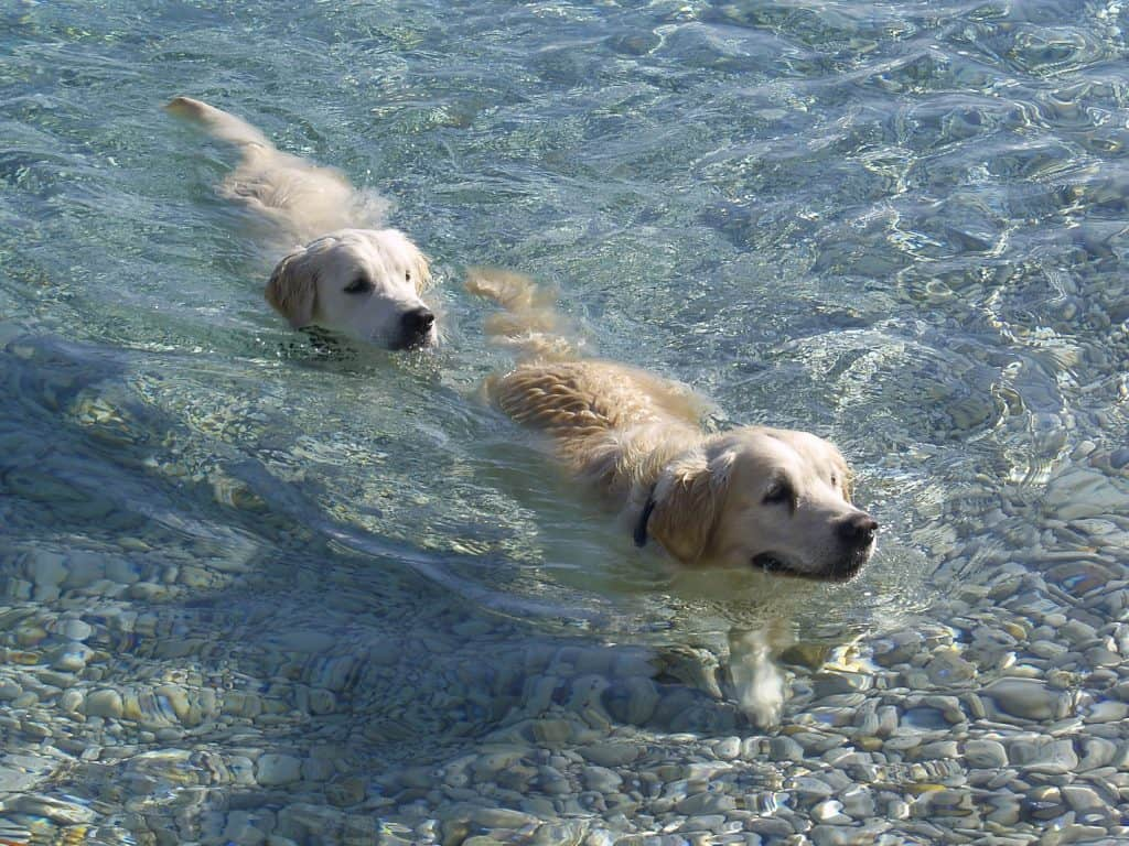 rescue golden retrievers swimming in illinois