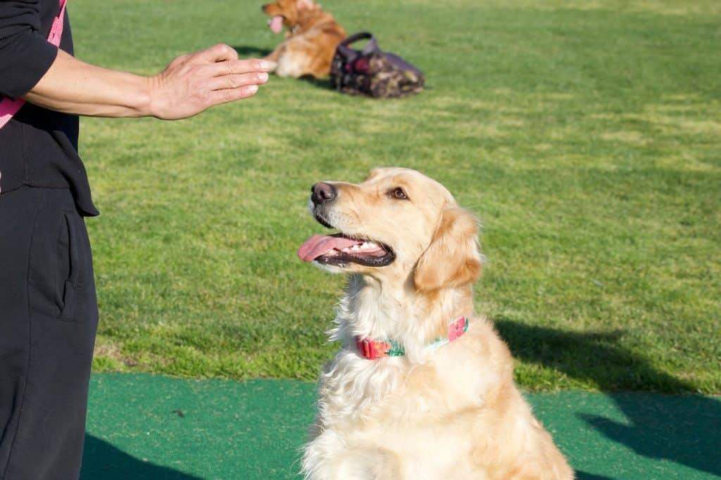 golden retriever training