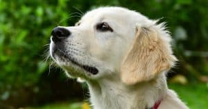 golden retriever barking