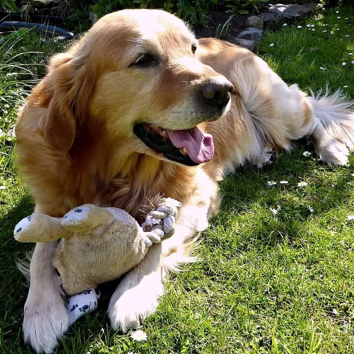 golden retriever resource guarding barking