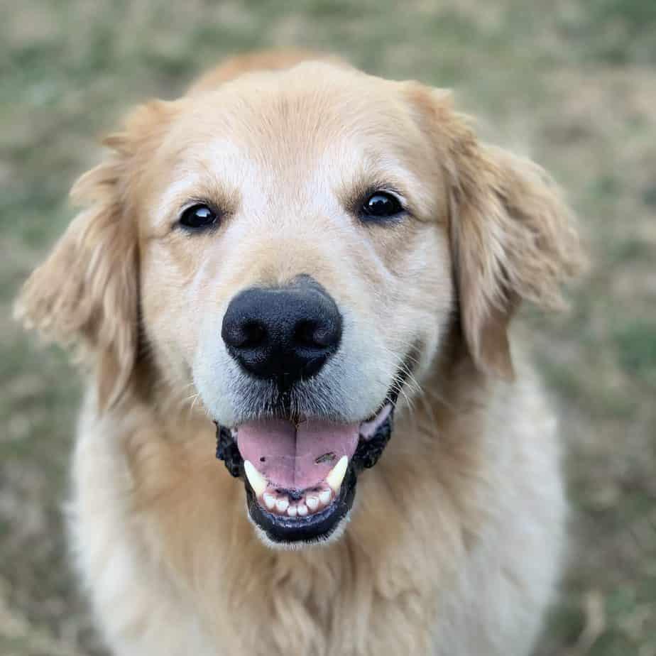 train golden retriever to stop barking