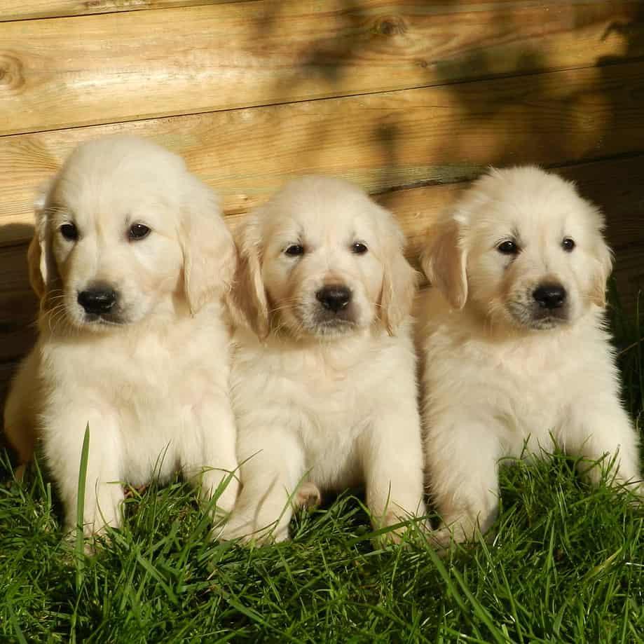 2 month old golden retriever puppies